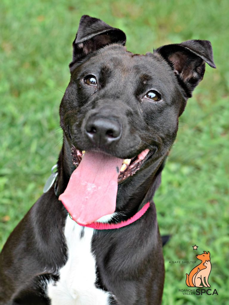 Princess, a beautiful 2 year old adoptable at Roanoke, VA SPCA dog